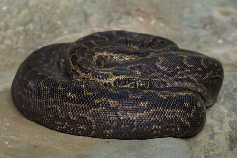 Bivittatus birman de python de python photo libre de droits