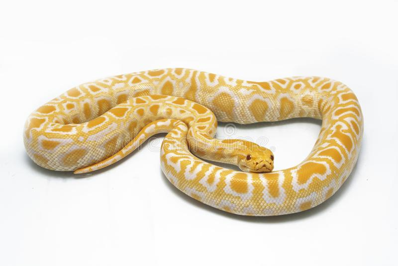 Bivittatus de molurus d'Albino Burmese Python Python photographie stock libre de droits