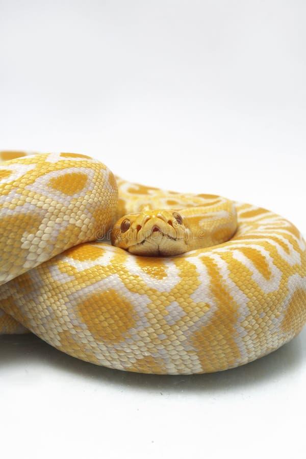 Bivittatus de molurus d'Albino Burmese Python Python photos stock
