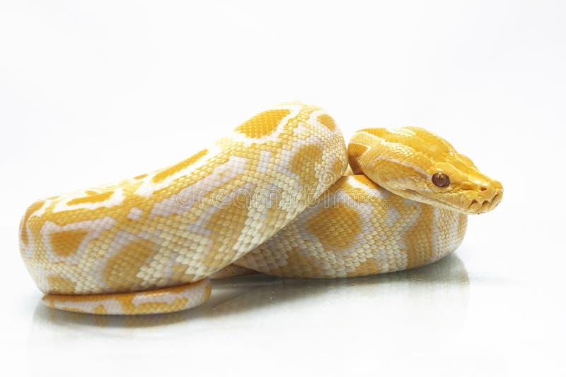 Bivittatus de molurus d'Albino Burmese Python Python photographie stock