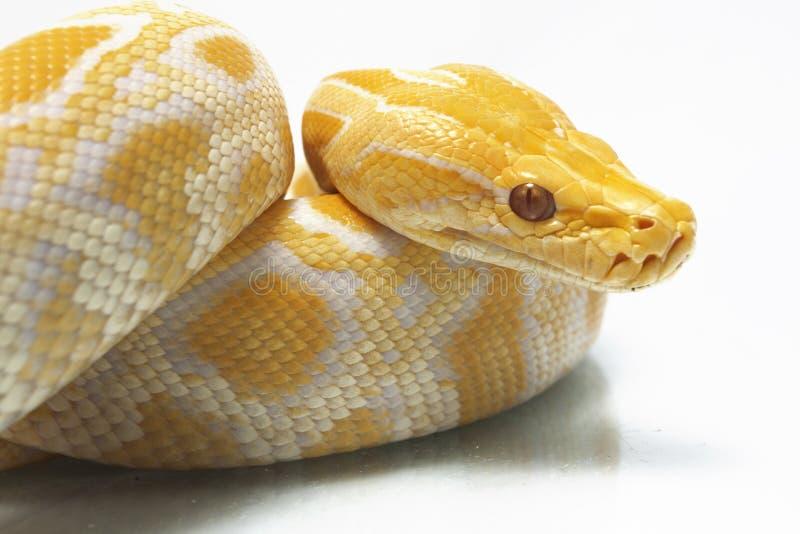 Bivittatus de molurus d'Albino Burmese Python Python images stock