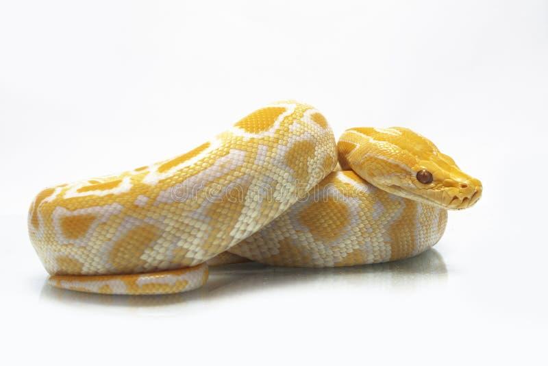 Bivittatus de molurus d'Albino Burmese Python Python photo libre de droits