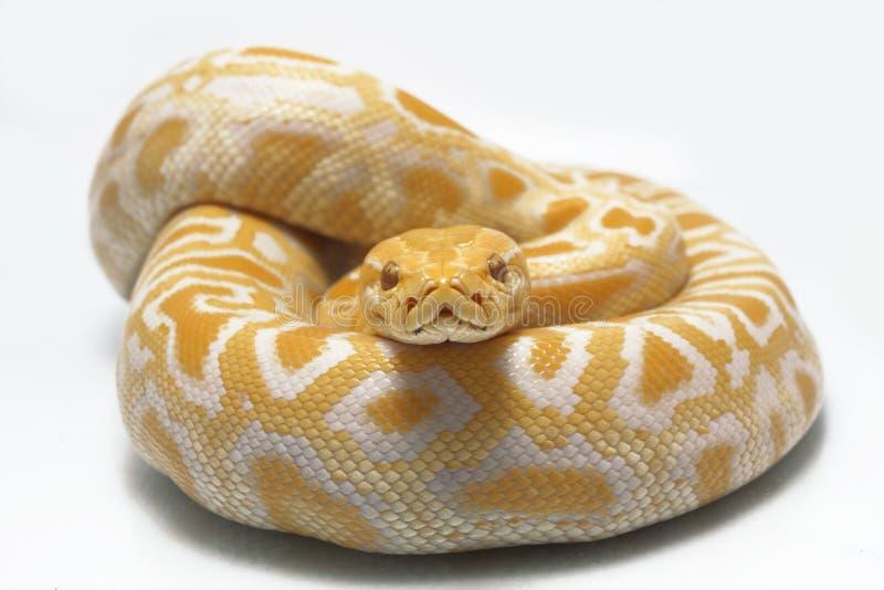 Bivittatus de molurus d'Albino Burmese Python Python photo stock