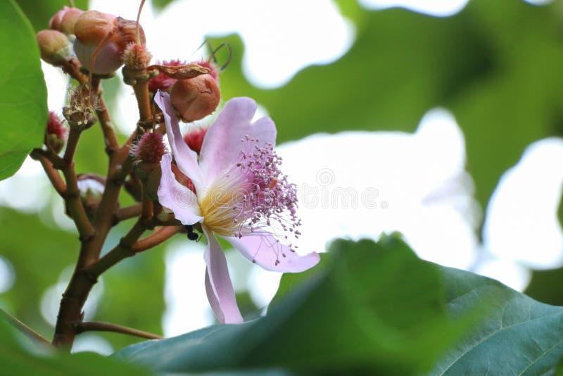Bixa Orellana på trädgården fotografering för bildbyråer