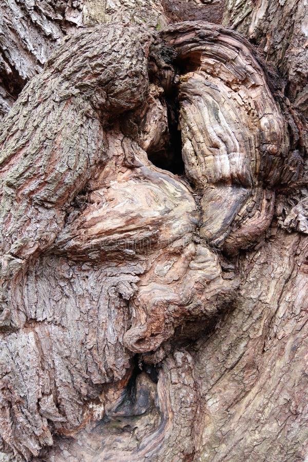 Bizarre forms of bark of very old willow stock image