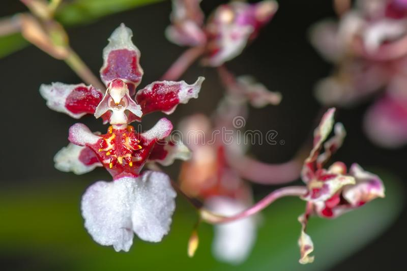 BIZARRE ORCHID – The Ballerina Orchid. stock photography