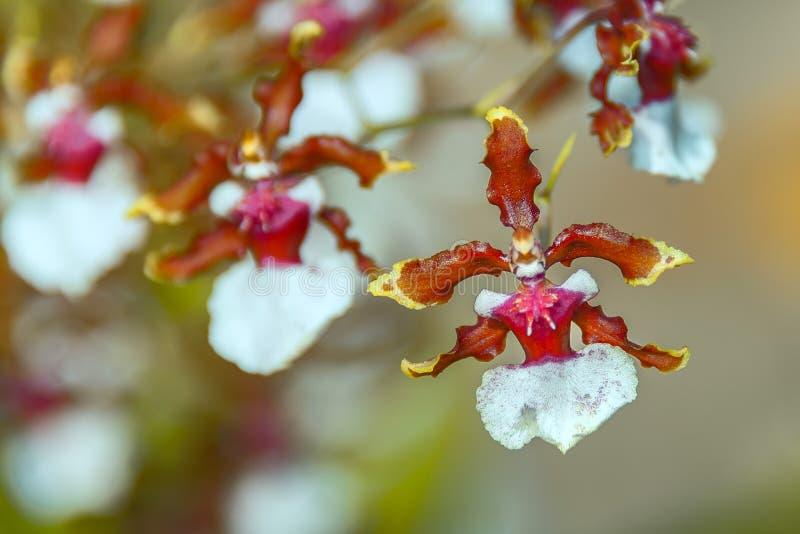 BIZARRE ORCHID – The Ballerina Orchid. stock photo
