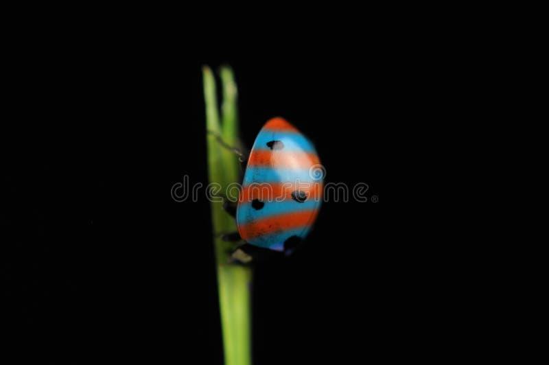Bizarre Striped Ladybird (Ladybug) on Grass. A bizarre striped ladybird (ladybug) on a grass against a black background royalty free stock photography
