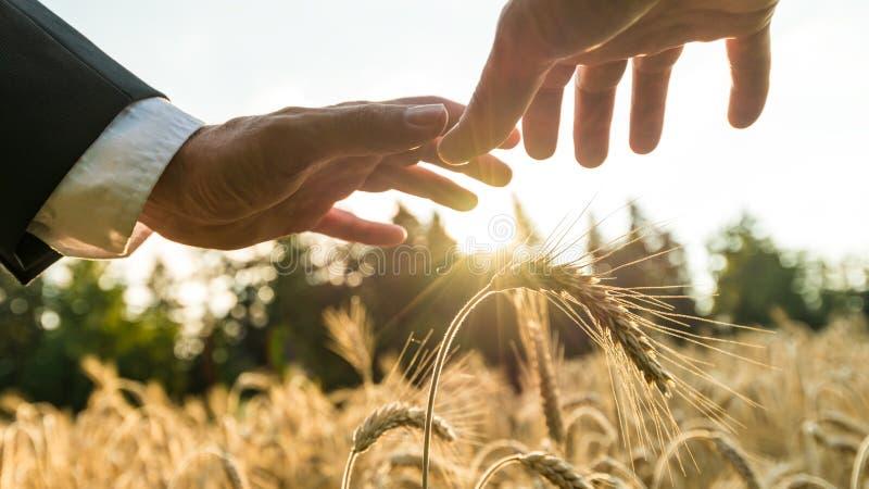 Biznesmen trzyma ochronne ręki nad złotymi pszenicznymi ucho zdjęcie stock