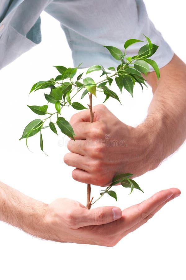 biznesowa ręki mężczyzna roślina fotografia royalty free