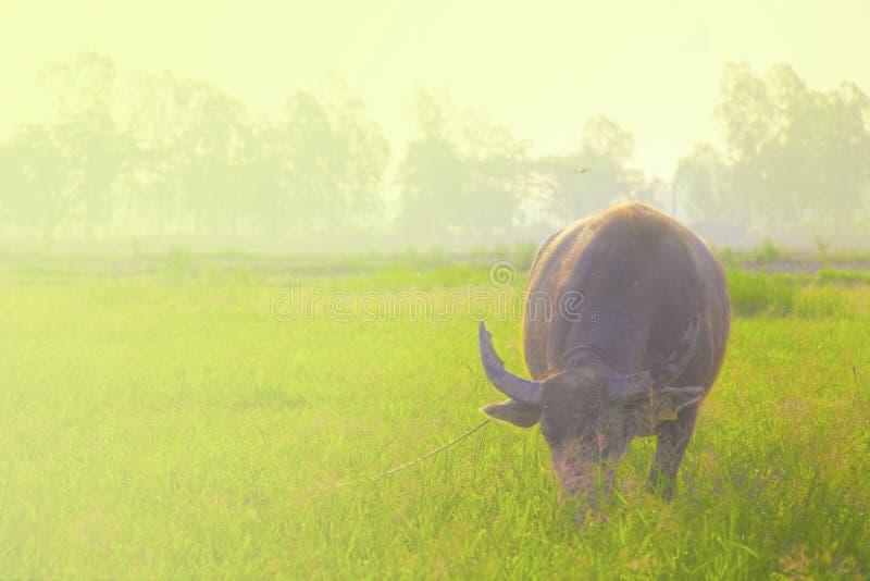 Bizonów stojaki jeść trawy zdjęcie stock