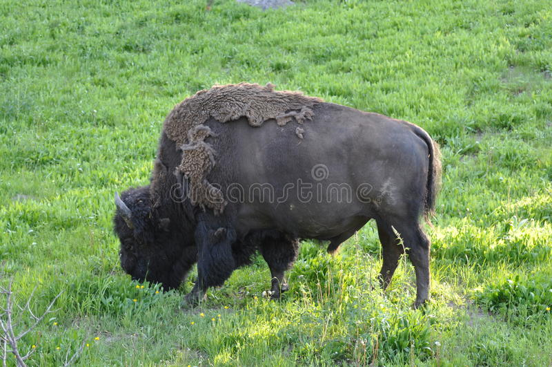 Download Bizon stock foto. Afbeelding bestaande uit shedding, yellowstone - 10783816