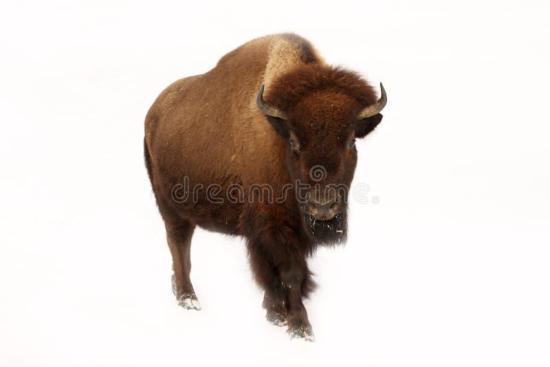 bizon obrazy royalty free