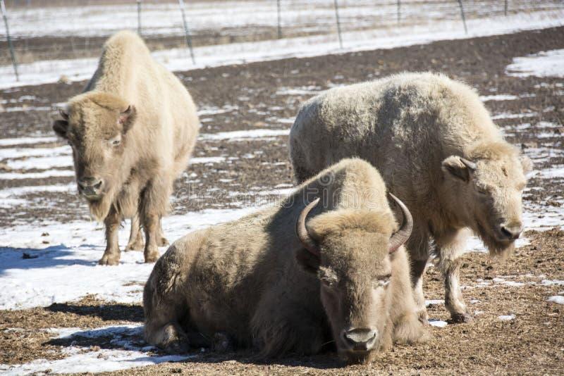 bizon stock afbeeldingen