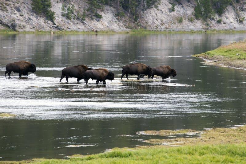 Bizon` Amerikaanse Buffels ` in Yellowstone royalty-vrije stock foto