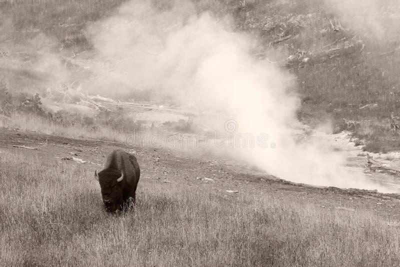 Bizon` Amerikaanse Buffels ` in Yellowstone stock fotografie