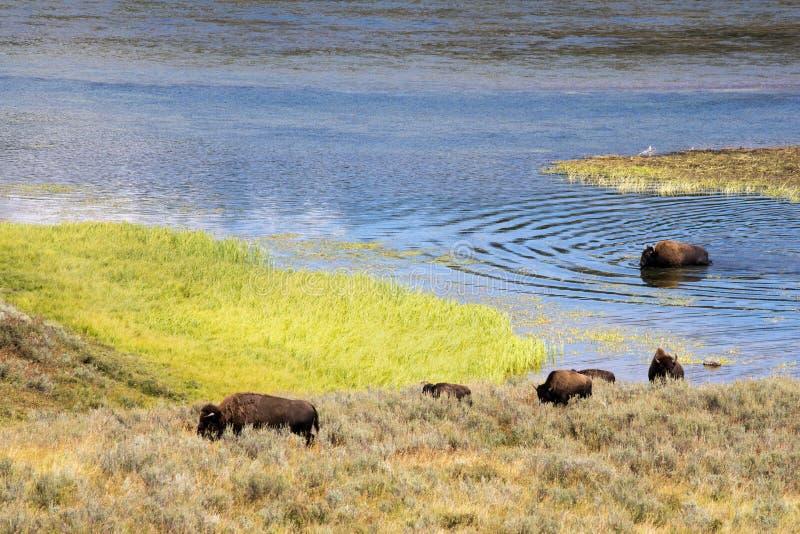 Bizon` Amerikaanse Buffels ` in Yellowstone stock afbeeldingen