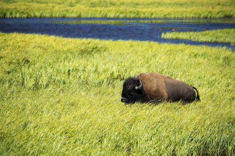 Bizon` Amerikaanse Buffels ` in Yellowstone royalty-vrije stock fotografie