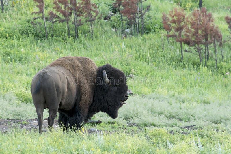 Bizon` Amerikaanse Buffels ` in Zuid-Dakota royalty-vrije stock afbeelding
