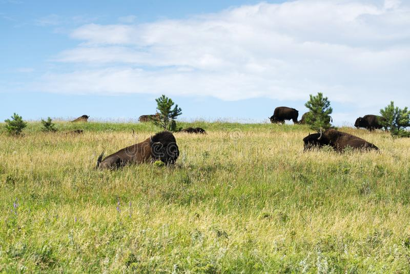 Bizon` Amerikaanse Buffels ` in Zuid-Dakota stock foto's