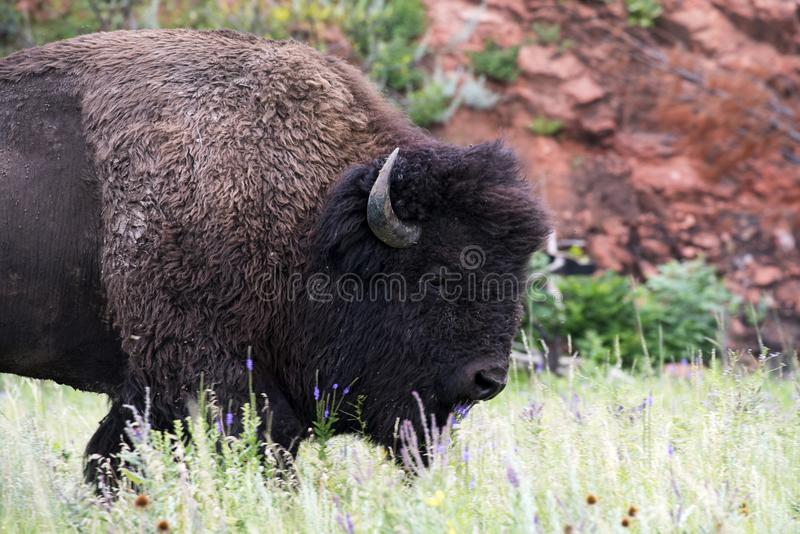 Bizon` Amerikaanse Buffels ` in Zuid-Dakota royalty-vrije stock afbeeldingen