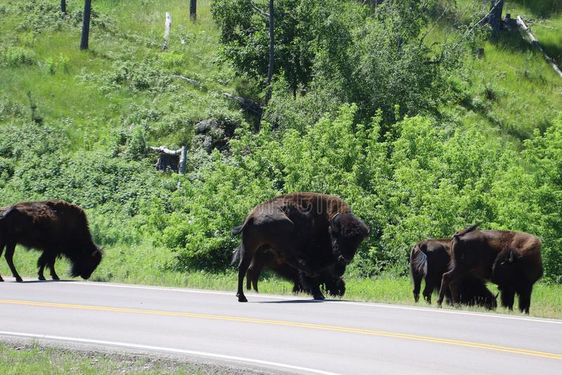 Bizon in Custer State Park in Zuid-Dakota royalty-vrije stock afbeeldingen