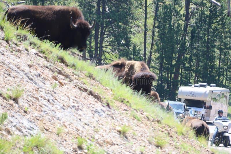 Bizon in Custer State Park in Zuid-Dakota royalty-vrije stock fotografie