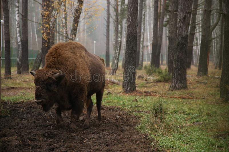 Bizon in de reserve van Wit-Rusland op de achtergrond van het bos stock fotografie