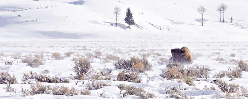 Bizon die in de winterblizzard worstelt royalty-vrije stock fotografie
