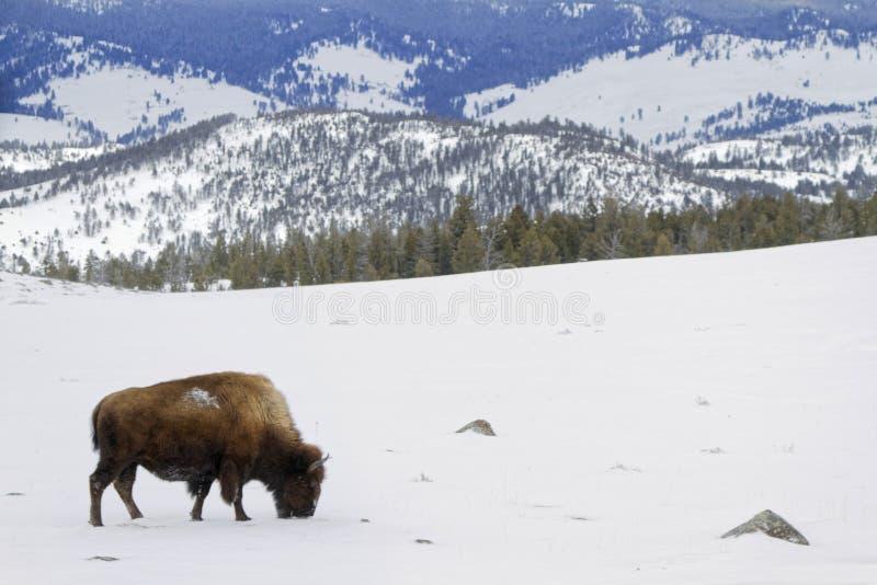 Bizon in een Yellowstone-landschap stock afbeelding