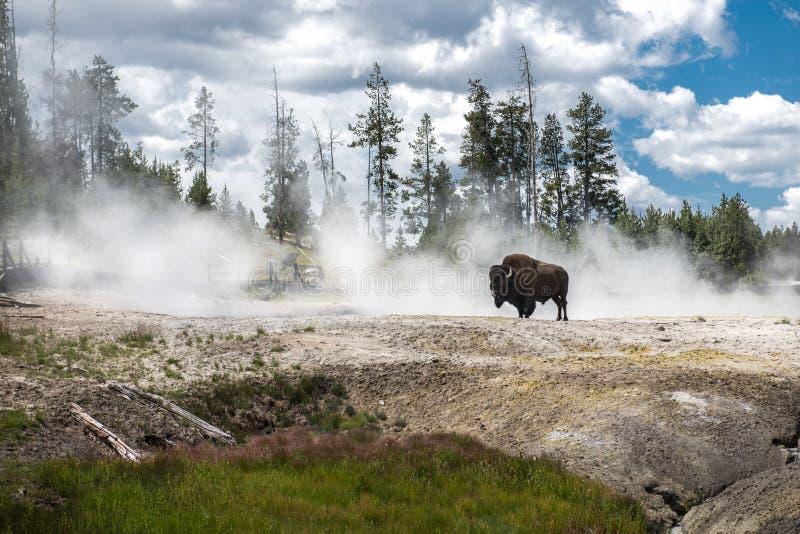 Bizon en los géiseres en el parque nacional escénico de Yellowstone en el verano imagen de archivo libre de regalías