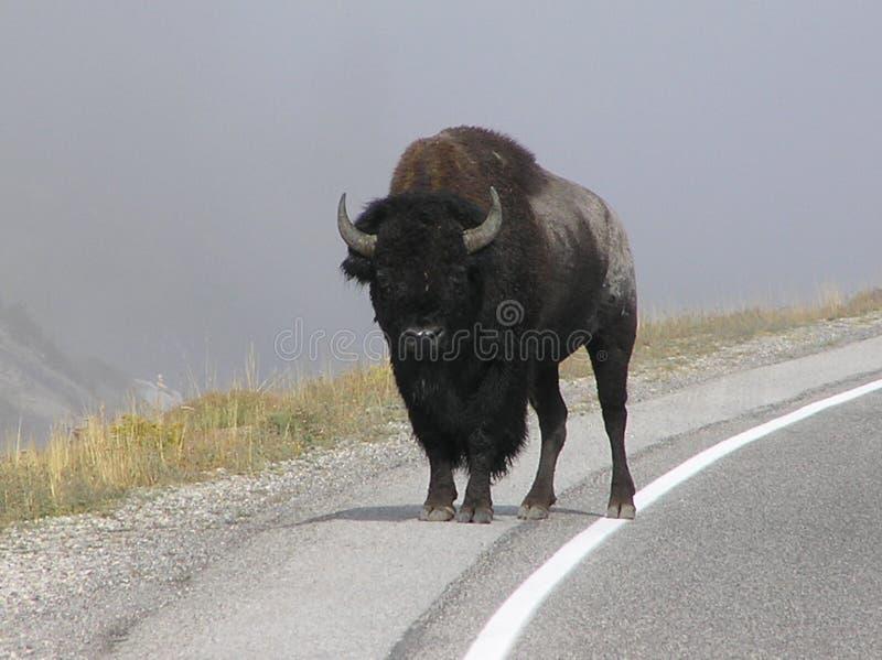 Bizon op de rand van de weg in Nationale het Parkweg van Yellowstone, WY royalty-vrije stock foto
