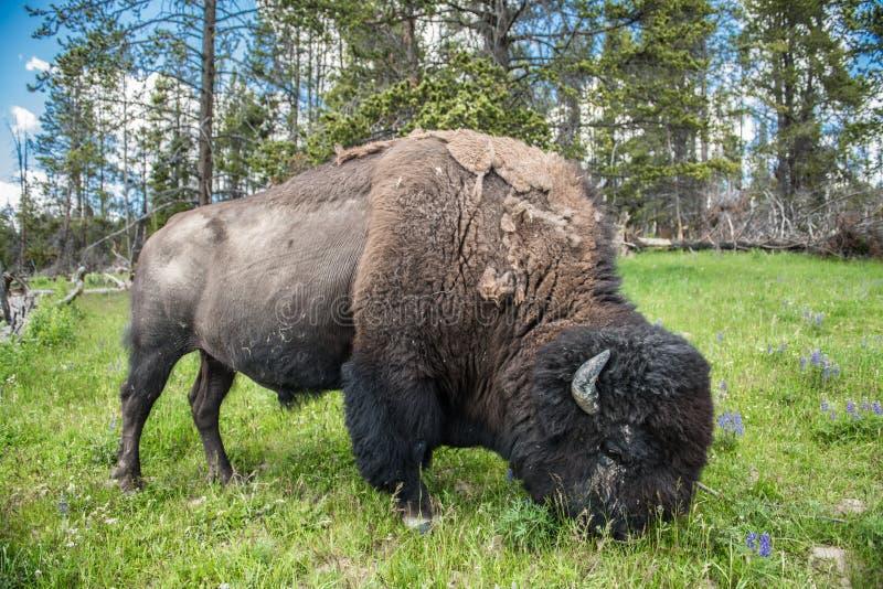 Bizon pasta en el campo en el parque nacional escénico de Yellowstone en el verano fotos de archivo libres de regalías