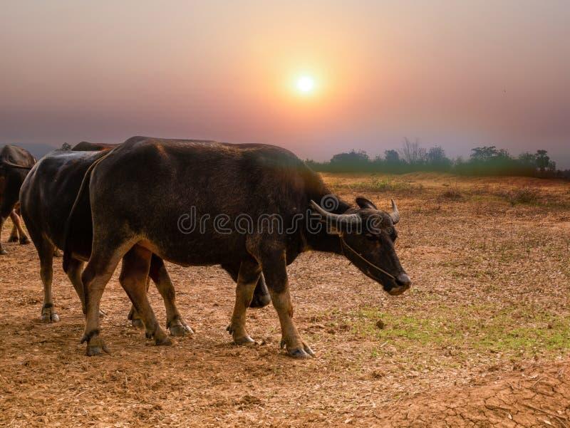 Bizon przy zmierzchem w Tajlandia fotografia royalty free