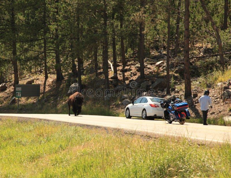 Bizon spotyka samochód wzdłuż igły autostrady obrazy stock
