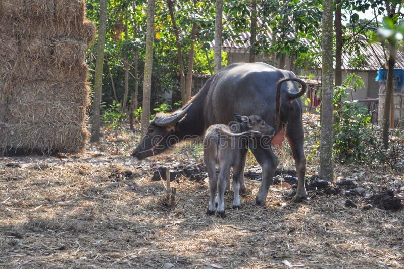 bizon tajlandzki obrazy stock