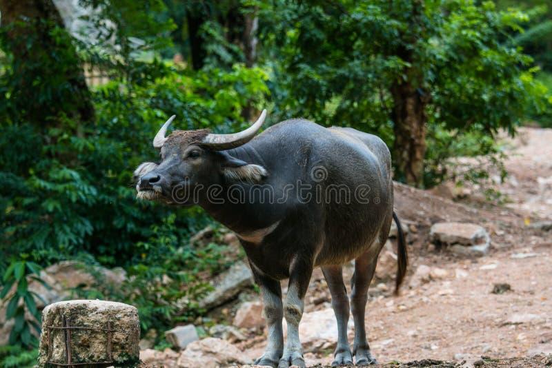 bizon tajlandzki obraz stock