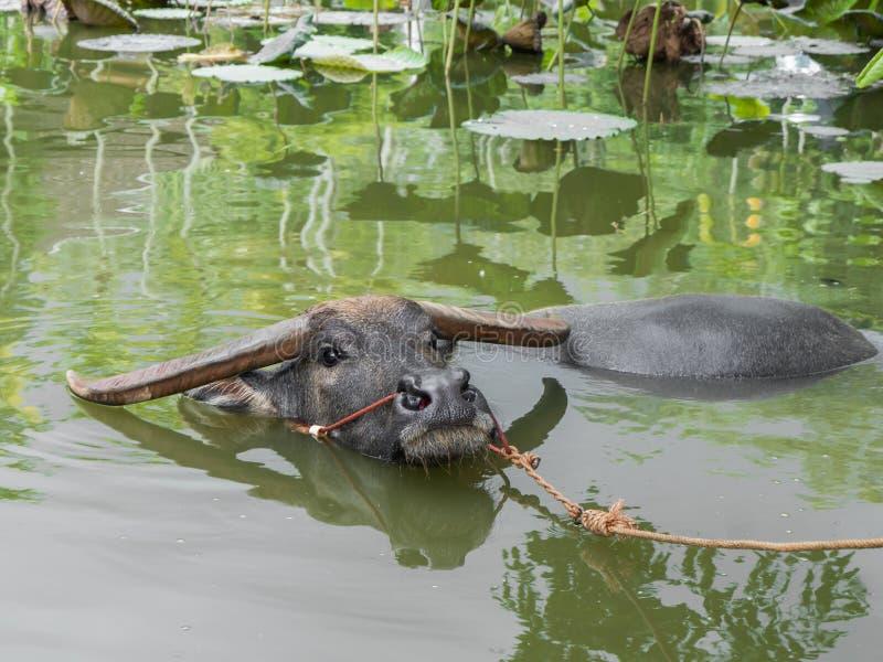 bizon tajlandzki zdjęcie royalty free