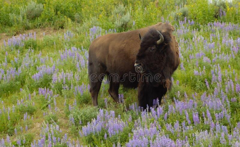 Bizon w wildflowers obrazy royalty free
