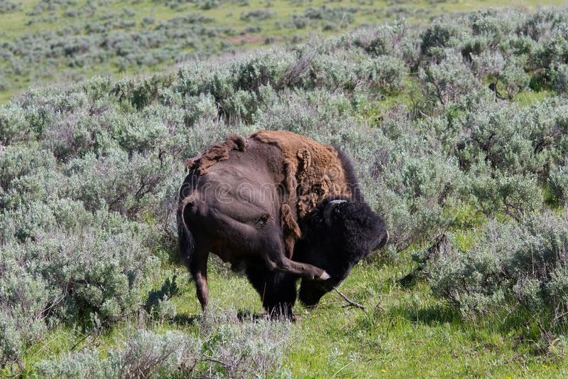 Bizon w Yellowstone obrazy royalty free