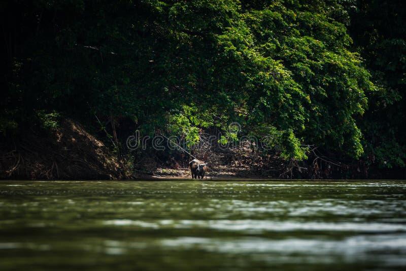 Bizon wzdłuż Mekong rzeki w Laos obrazy royalty free