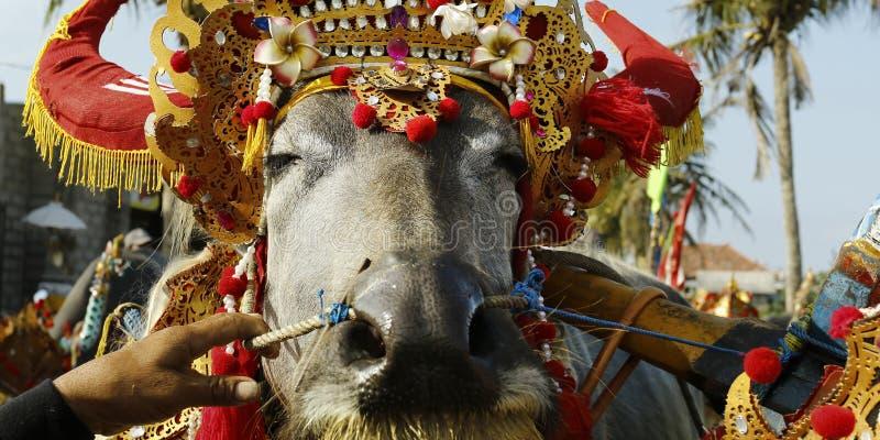 Bizon z tradycyjnym ornamentem podczas bizon rasy festiwalu, - Indonesia obraz royalty free