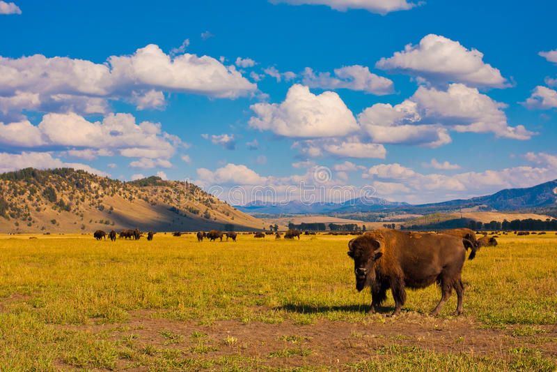 Bizons in het Nationale Park van Yellowstone royalty-vrije stock afbeelding