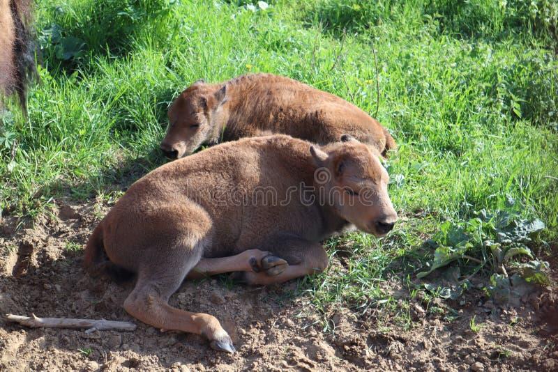 Bizonsfamilie De Europese bizon, heilige-Petersburg, Toksovo, bizon was geboren in de reserve stock afbeeldingen