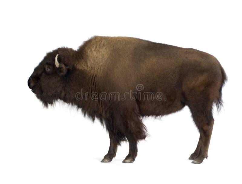 bizony zdjęcie stock