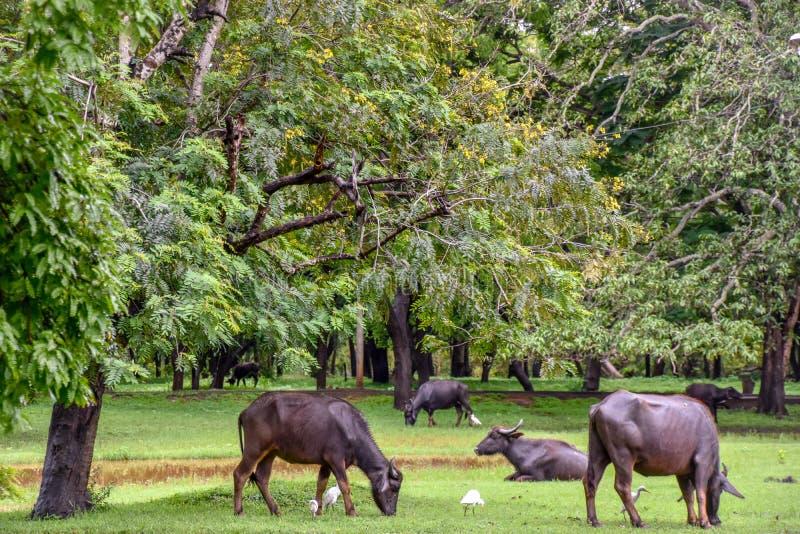Bizony w Udawalawe parku narodowym na Sri Lanka fotografia royalty free