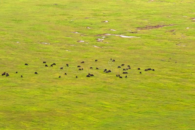 Bizony, zebry pasa na trawie, zieleni pole przy podłogą Ngorongoro krater, Afryka Wschodnia zdjęcia stock