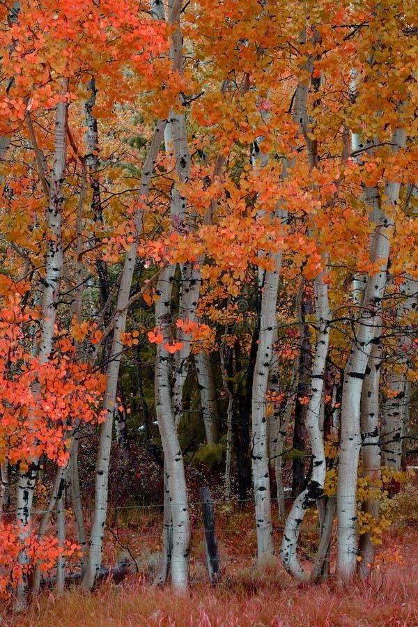 Björk Aspen Trees i Autumn Fall royaltyfri fotografi
