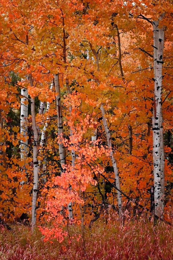 Björk Aspen Trees i Autumn Fall royaltyfria foton