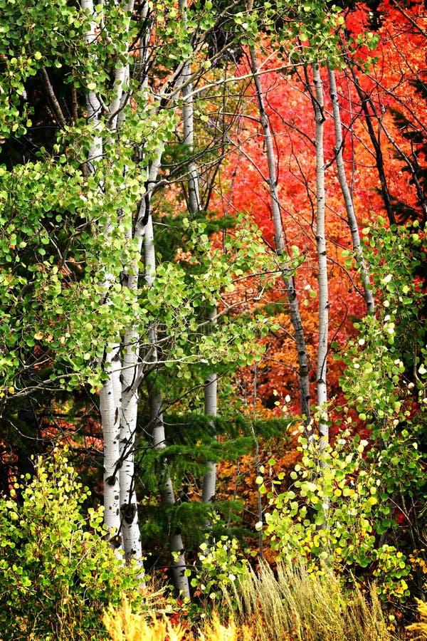 Björk Aspen Trees i frodigt landskap för berg i nedgånghöst royaltyfria foton
